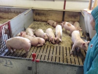 Besøg af 5 kl. ved grisene