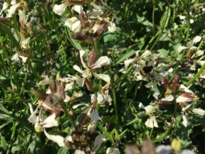 Bierne godt i gang i rucolaen